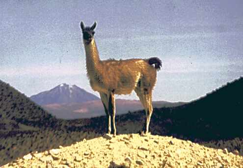 vicuna - a wild relative of the llama