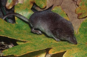UK vagrant shrew